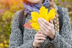 Yellow maple leaves in female hands. Close-up Stock Photography