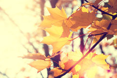 Yellow maple leaves in a forest. At sunny day Royalty Free Stock Photo