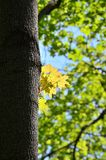 Yellow maple leaves found in spring forest Royalty Free Stock Image