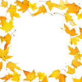 Yellow maple leaves Stock Photos