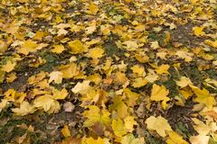Yellow maple leaves in the grass. In autumn Royalty Free Stock Image