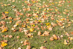 Yellow maple leaves on the grass Royalty Free Stock Photography