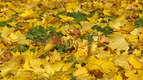 Yellow maple leaves on the grass in the park. royalty free stock photos