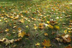 Yellow maple leaves in the grass. In October Royalty Free Stock Images