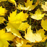 Yellow maple leaves. On green grass in autumn Stock Photo