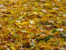 Yellow maple leaves on the green grass, golden autumn background Royalty Free Stock Images