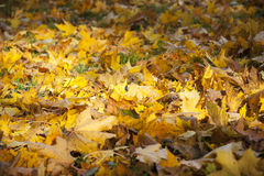 Yellow maple leaves on ground Royalty Free Stock Photo