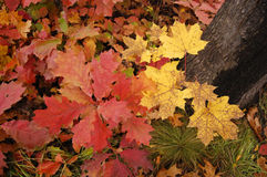 Yellow maple leaves grow about red oak leaf Stock Images