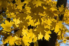 Yellow maple leaves hanging on the branches of a tree Stock Photos