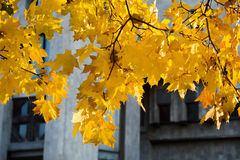 Yellow maple leaves in Indian Autumn Royalty Free Stock Images