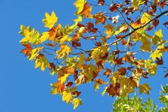Yellow maple leaves Stock Photography
