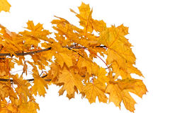 Yellow maple leaves isolated Royalty Free Stock Photo