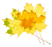 Yellow maple leaves isolated Stock Images