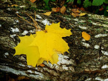 Yellow maple leaves. On a log on an autumn day stock image
