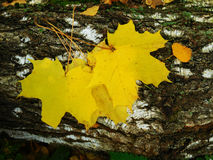 Yellow maple leaves. On a log on an autumn day stock photo