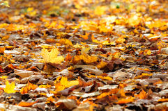 Yellow maple leaves lying on the ground Stock Image