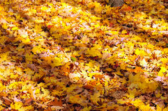 Yellow maple leaves lying on the ground Royalty Free Stock Images