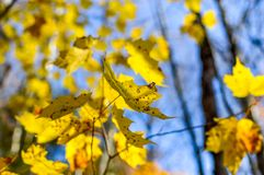 Yellow maple leaves in Mont Tremblant National Park in fall. Canada Stock Images