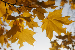 Yellow maple leaves. The yellow maple leaves in in Moscow in the autumn Stock Photo