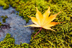 Yellow maple leaves on moss Royalty Free Stock Photography