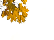 Yellow Maple leaves over white Royalty Free Stock Photography