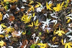 Yellow maple leafs Royalty Free Stock Photo