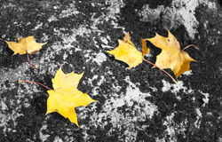 Yellow maple leaves on rock Royalty Free Stock Image