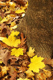 Yellow maple leaves and root. Yellow maple leaves covering the tree root Stock Photography