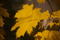 Yellow maple leaves. Stock Image