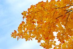Yellow maple leaves with sky. Tree branch of yellow maple leaves on a blue sky Royalty Free Stock Photos