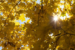 Yellow maple leaves on sky background Royalty Free Stock Photo