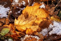 Yellow maple leaves in the snow royalty free stock photo