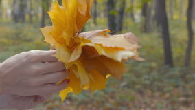 Yellow maple leaves are sorted out in the hands of stock video footage