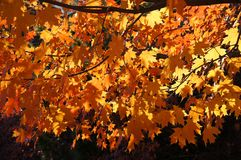 Yellow maple leaves. Yellow maple leaves in  sunlight setup Stock Photo