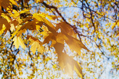 Yellow maple leaves in the sunny sunset light. Beautiful autumn background. Indian summer. Stock Photography