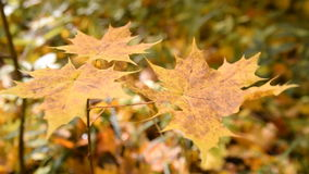 Yellow maple leaves swaying in the wind stock footage