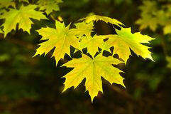 Yellow maple leaves on a tree. stock images