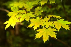 Yellow maple leaves on a tree. stock photography