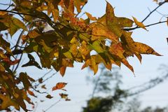Yellow maple leaves on the tree. Photo of yellow maple leaves token in Hong Kong country park in December 2017 Stock Images