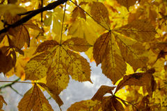 Yellow maple leaves. At Trummelbach Fall Royalty Free Stock Photos