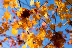 Yellow Maple leaves. Maple leaves turning into yellow colors Stock Images
