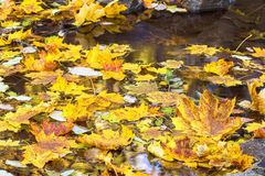Yellow maple leaves in the water Royalty Free Stock Photography