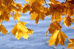 Yellow maple leaves. And water on the background. Autumn concept Royalty Free Stock Image