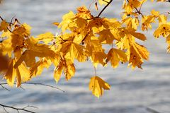 Yellow maple leaves. And water on the background. Autumn concept Royalty Free Stock Photo