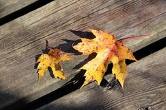 Yellow Maple Leaves on weathered deck. Autumn leaves of Maple Tree on wooden Royalty Free Stock Image