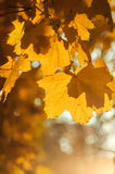 Yellow maple leaves. A well highlighted maple leaves Royalty Free Stock Photos