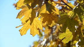 Yellow maple leaves in the wind stock video
