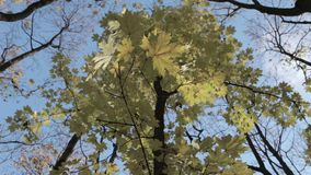 Yellow maple leaves. On the branches stock video footage