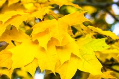Yellow maple leaves. Tsaritsyno Park, Moscow, Russia Royalty Free Stock Images