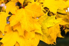Yellow maple leaves. Tsaritsyno Park, Moscow, Russia Royalty Free Stock Photography